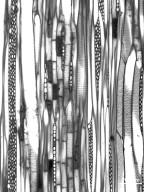 MALVACEAE TILIOIDEAE Tilia americana heterophylla