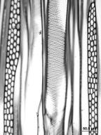 MALVACEAE TILIOIDEAE Tilia amurensis