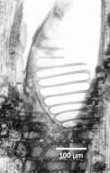 HUMIRIACEAE Sacoglottis guianensis