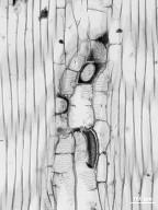 SABIACEAE Meliosma lanceolata