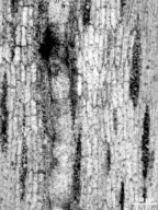 LEGUMINOSAE Fejej Group III. Wood Type 5