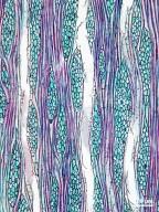 SABIACEAE Meliosma herbertii