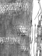 RHAMNACEAE Ceanothus arboreus