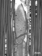 ANACARDIACEAE Androtium astylum