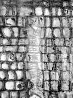 RHAMNACEAE Ceanothus cordulatus