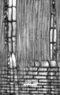 LEGUMINOSAE PAPILIONOIDEAE Swartzia benthamiana