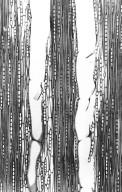 COMBRETACEAE Terminalia dichotoma