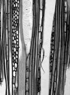 SYMPLOCACEAE Symplocos fasciculata