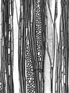 AQUIFOLIACEAE Ilex canariensis