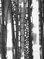 SYMPLOCACEAE Symplocos celastrifolia