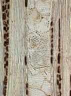 PHYLLANTHACEAE Margaritaria indica