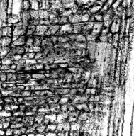 EPHEDRACEAE Ephedra pedunculata