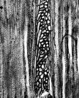 EPHEDRACEAE Ephedra torreya
