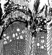 EPHEDRACEAE Ephedra viridis