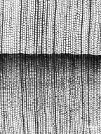 CUPRESSACEAE Cryptomeria japonica