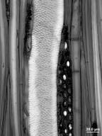 BETULACEAE Betula lenta
