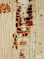 CHRYSOBALANACEAE Atuna racemosa excelsa