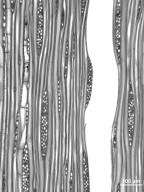 BETULACEAE Betula alleghaniensis