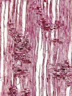 BORAGINACEAE Bourreria ovata