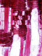 OLACACEAE Strombosia scheffleri