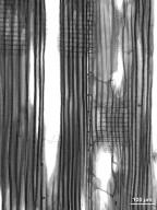 SALICACEAE Populus grandidentata