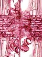 LAURACEAE Licaria triandra