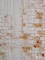 CORNACEAE Cornus florida