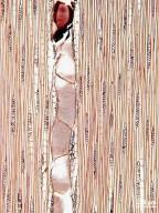 MELIACEAE Cedrela fissilis