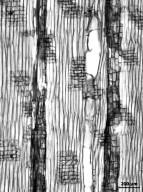 THYMELAEACEAE Gyrinops walla