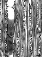 MELIACEAE Swietenia macrophylla