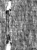 LEGUMINOSAE PAPILIONOIDEAE Dalbergia retusa