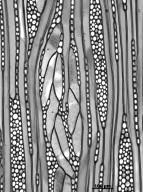 TROCHODENDRACEAE Tetracentron sinense
