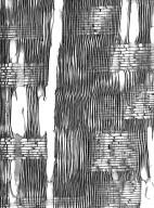 SAPINDACEAE Aesculus californica