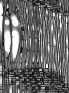 MALVACEAE BROWNLOWIOIDEAE Pentace burmanica