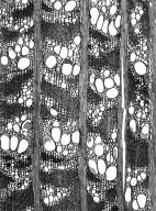LEGUMINOSAE PAPILIONOIDEAE Laburnum anagyroides