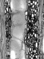 MALVACEAE GREWIOIDEAE Grewia mollis