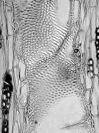 LEGUMINOSAE MIMOSOIDEAE Acacia koa
