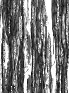 ASTERACEAE Artemisia arborescens