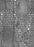 RHAMNACEAE Paliurus spina-christi