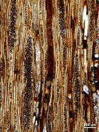 MALVACEAE FOSSIL Yellowstone. Amethyst Mt18