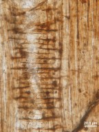ANACARDIACEAE Rhus crystallifera