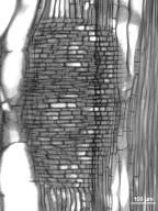 LEGUMINOSAE CAESALPINIOIDEAE Gymnocladus dioica