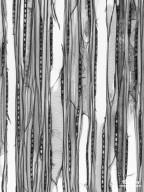 SAPINDACEAE Aesculus flava