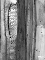 STYRACACEAE Halesia carolina