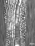 MORACEAE Maclura pomifera