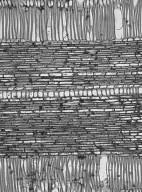 ERICACEAE Craibiodendron stellatum
