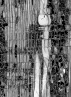 STACHYURACEAE Stachyurus praecox