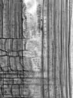 SYMPLOCACEAE Symplocos cochinchinensis