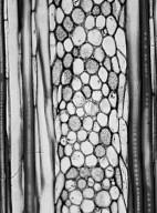 PHELLINACEAE Phelline lucida