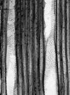 SYMPLOCACEAE Symplocos glomerata